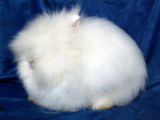 Ангорские карликовые кролики