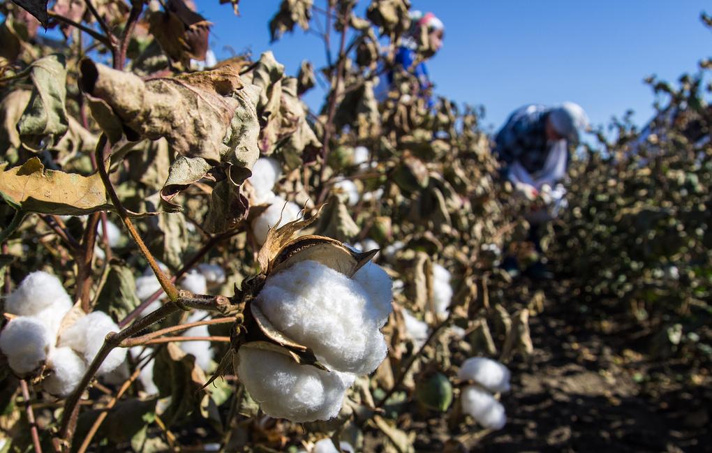 На Ставрополье впервые за полвека начали сбор урожая хлопка