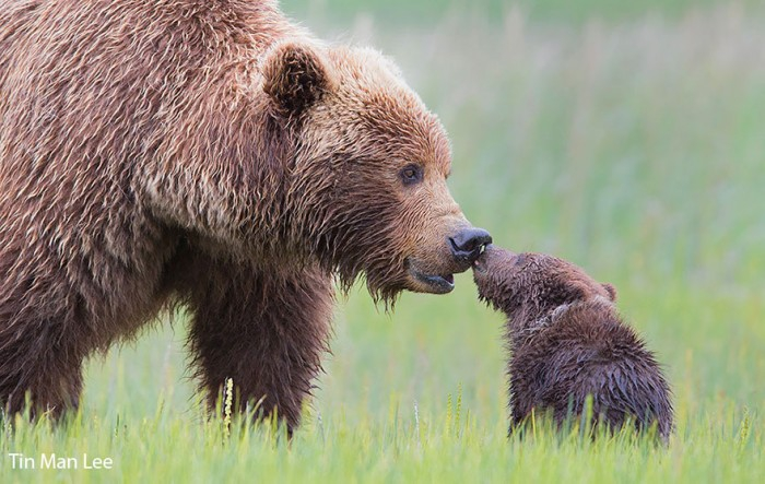 Мамы-мишки учат своих малышей жизни животные, , мишки, природа