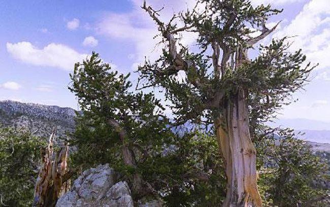 Сейчас ученые пытаются раскрыть секрет долголетия самого старого дерева на планете. Возраст
