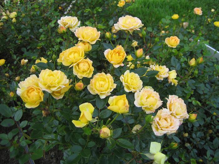 """Розы полиантовые фото """" Свежее порно"""