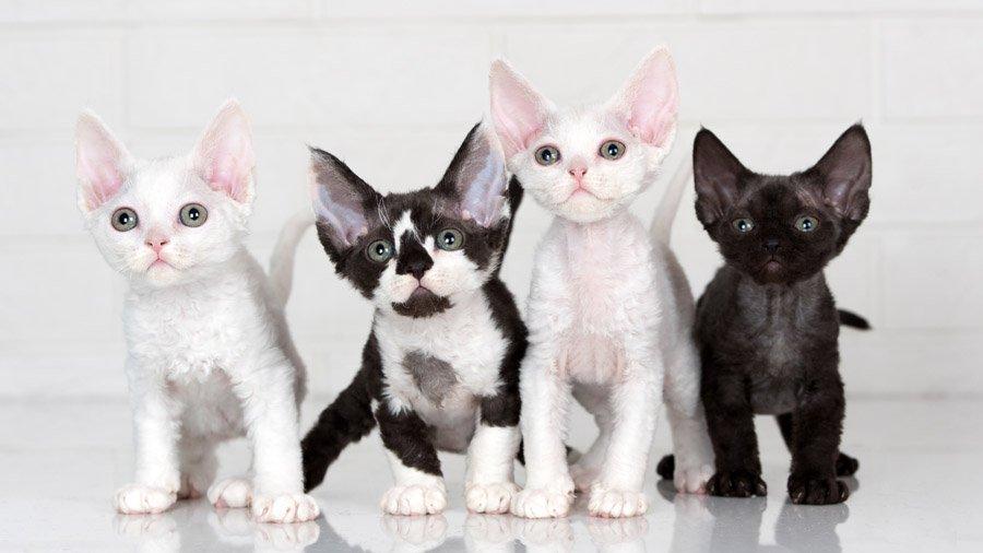 КОШКИН ДОМ. Самые дорогие породы кошек