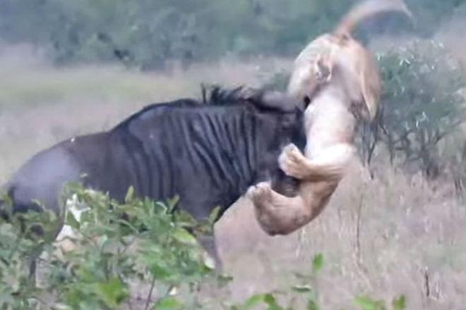 Смелая антилопа дала сдачи разъяренным львам