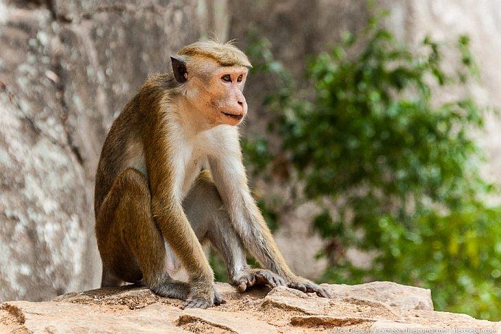 По дороге в Сигирию вас встречают обезьяны