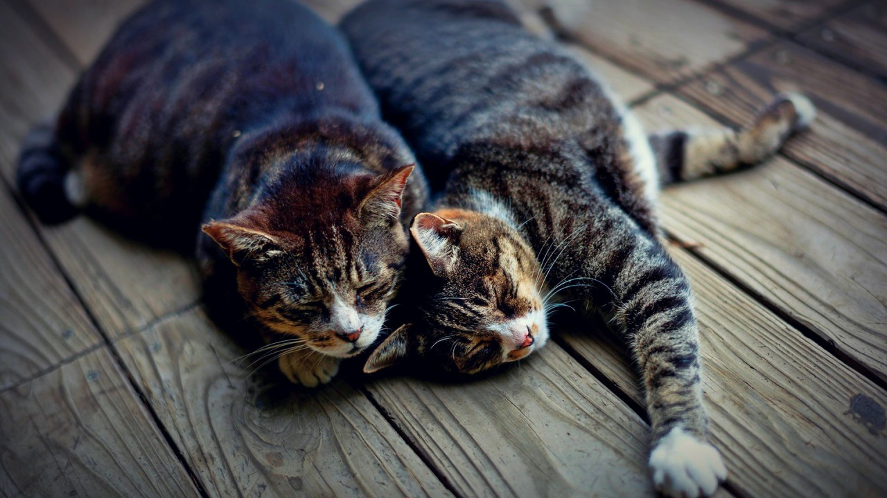 Почему заводить двух кошек лучше, чем одну