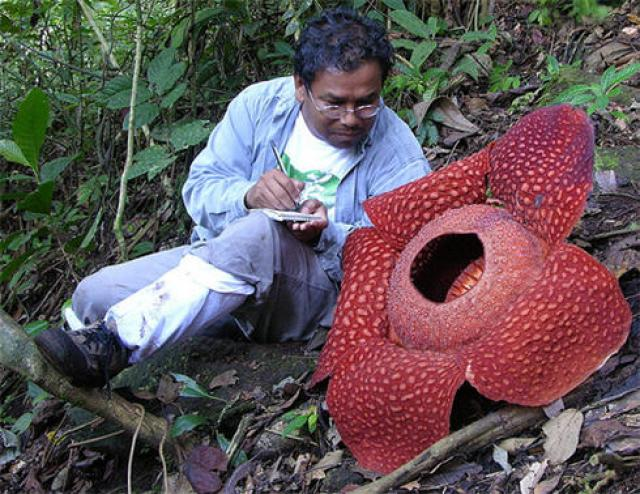 Самый большой в мире чудо-цветок