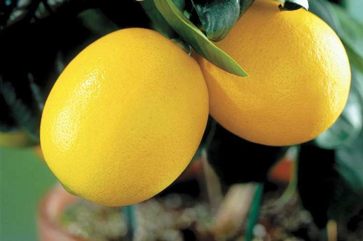 Выращиваем комнатный лимон: правила ухода в домашних условиях