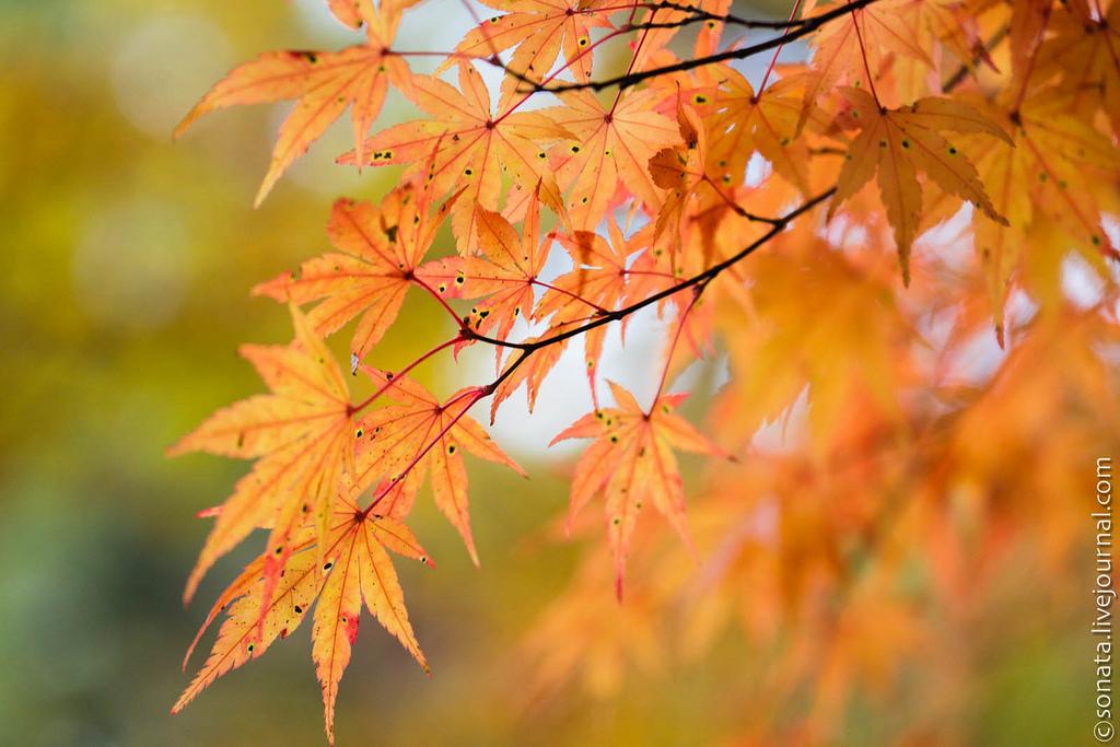 160 Клёны в ботаническом саду Кобе