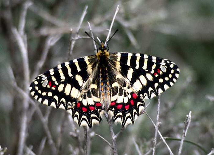 Марокканская бабочка-индикатор. /Фото:wikipedia.org