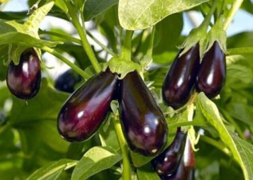 Баклажанная азбука: пять шагов для большого урожая.