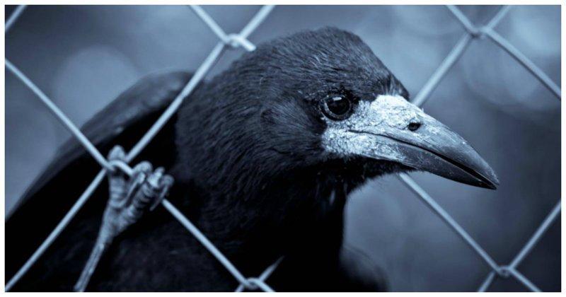За поимку слишком умной вороны японку ждет тюрьма