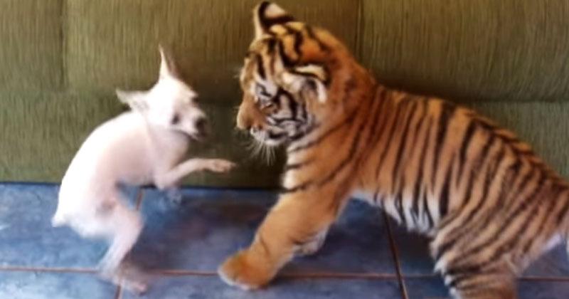 Тигр и собака оказались запертыми в одной комнате. Их поведение крайне удивит вас!