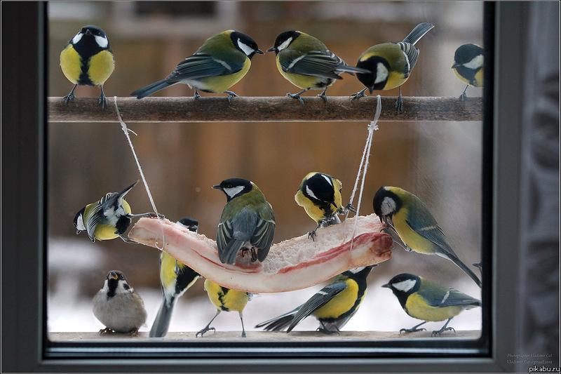Чем кормить синичек в домашних условиях