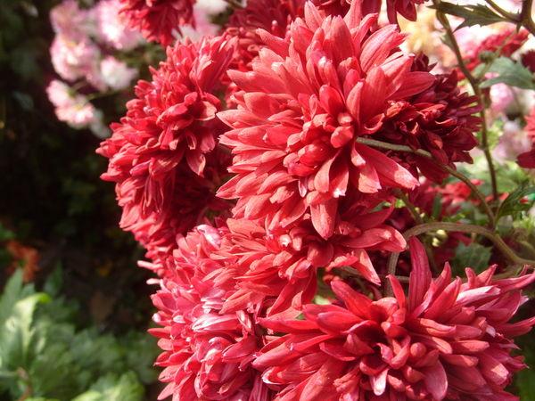Хризантема сорт Вишневый Сад