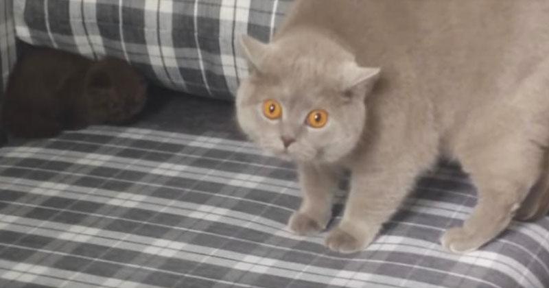 Кошка впервые увидела в доме нового котенка. Ее реакция вас позабавит!