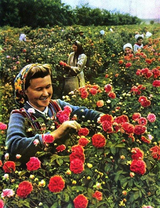 Собирательница лепестков эфиромасличного совхоза-завода «Крымская роза» за работой.