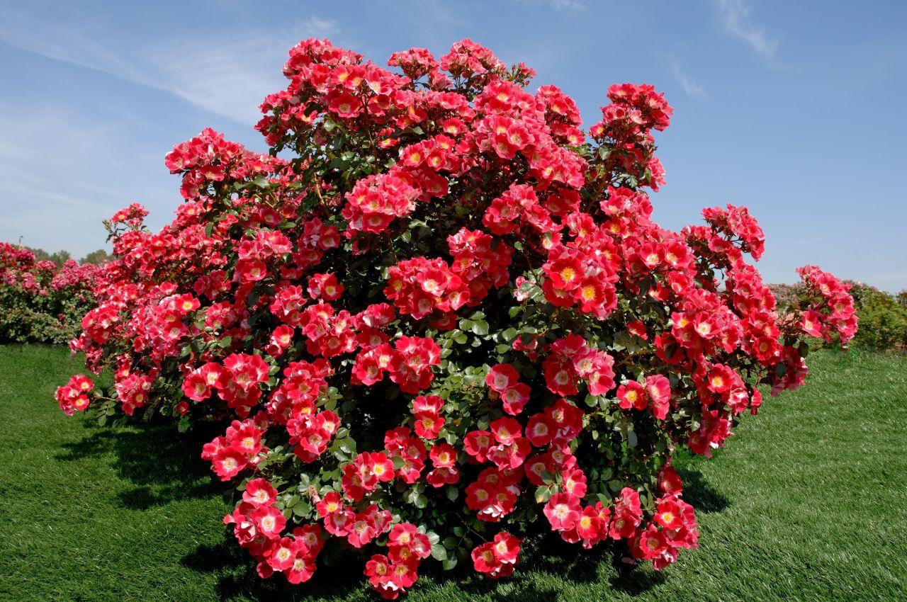 Как принять королеву. Что нужно учитывать при посадке роз осенью?
