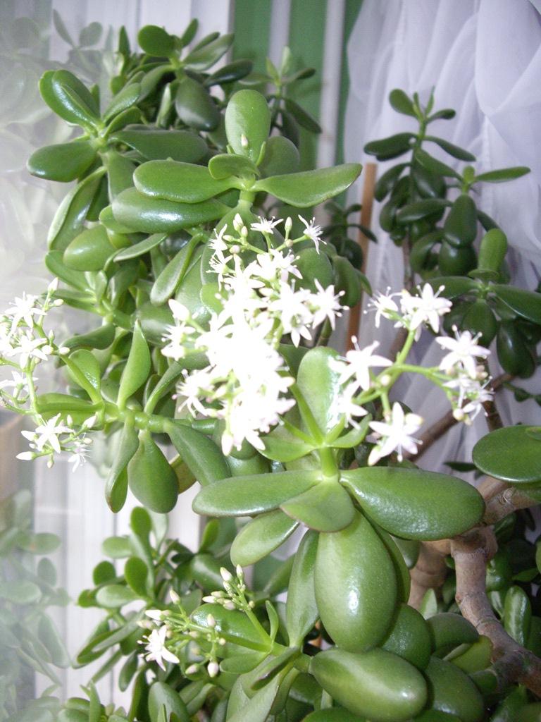 Как цветет денежное дерево