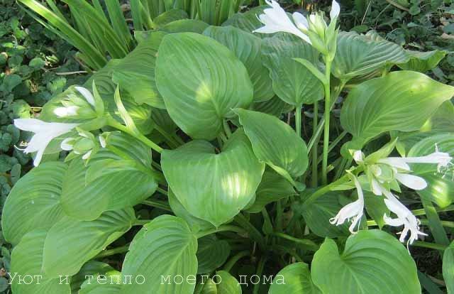 cvety hosta