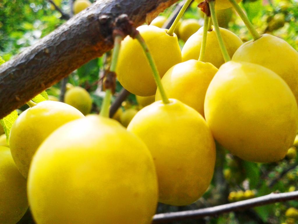 Безопасная консервация: помидоры и алыча