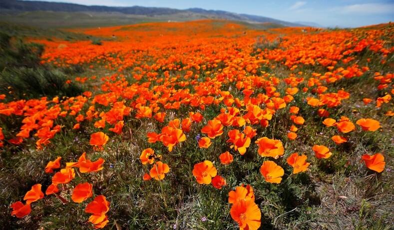 Небывалое цветение калифорнийской пустыни