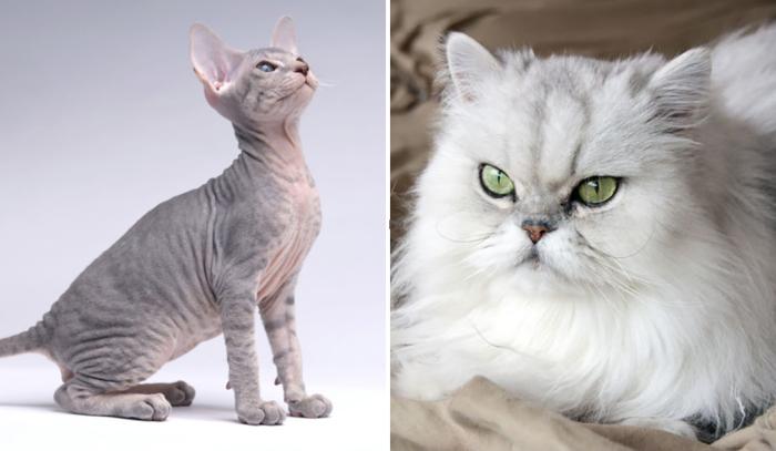 Экзотическая кошка ашера.  Фото: iohotnik.ru.