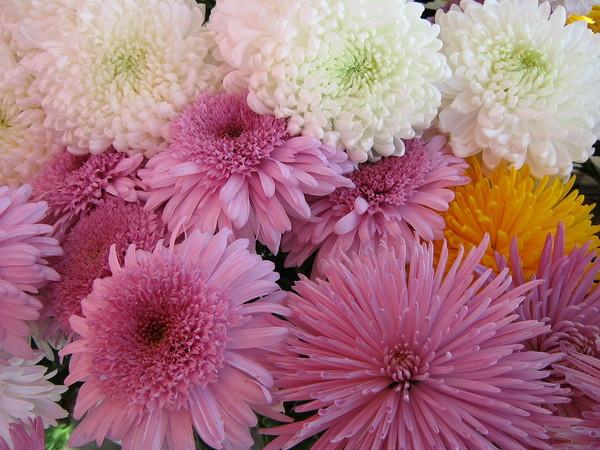 Великолепие осенних роз - Хризантемы. Обсуждение на LiveInternet - Российский Сервис Онлайн-Дневников