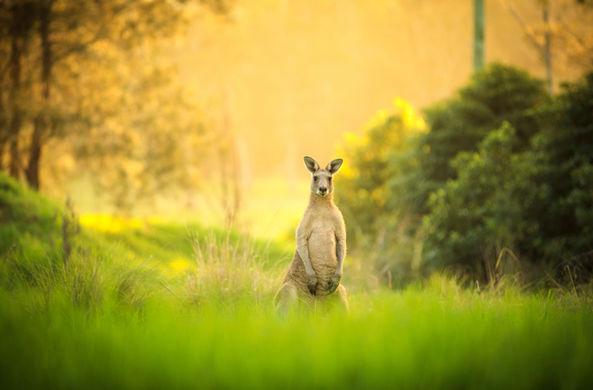 В Австрии заметили кенгуру
