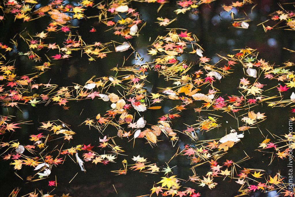 2211 Клёны в ботаническом саду Кобе
