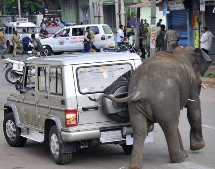 Взбесившиеся слоны (6 фото)