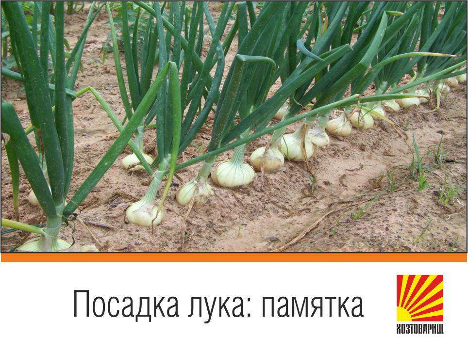 Лук хорошо будет расти там, где в прошлом году были картофель, помидоры, фасоль, горох, капуста.