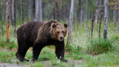 В Якутии медведь зашел в жилой вагончик и укусил женщину