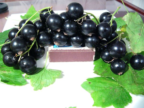 6 простых секретов получения крупных ягод смородины