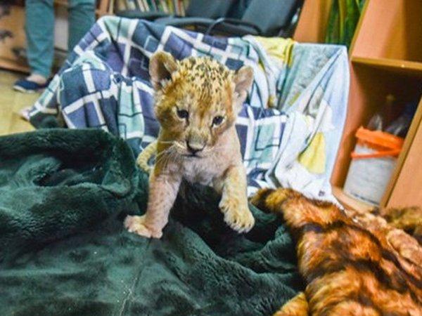 «Чтобы спасти львенка от переохлаждения, пришлось на ночь брать его в постель»