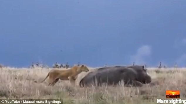 Голодная львица решила атаковать спящего бегемота и пожалела об этом