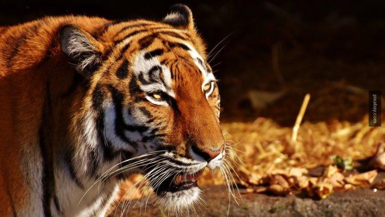 Амурский тигр напал на жител…