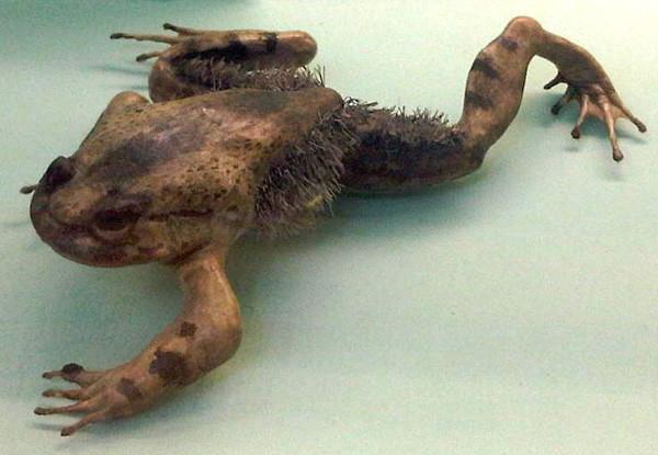 Волосатая лягушка может сломать свои кости и превратить их в когти Способность, в мире, животные, природа, супергерои, суперспособности, удивительно