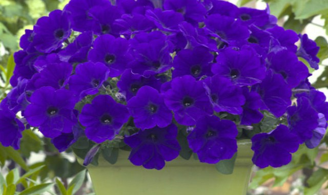Как добиться, чтобы петуния цвела пышным цветом