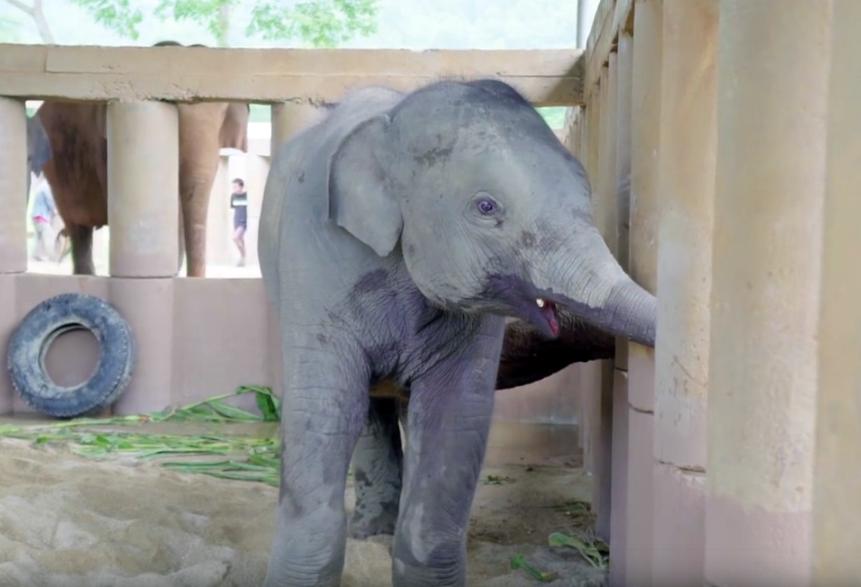 Слоны радостно встречают спасенного слоненка