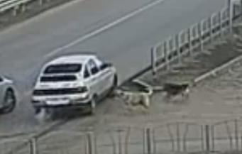 Собачий перекрёсток в Омске исправно работает уже год