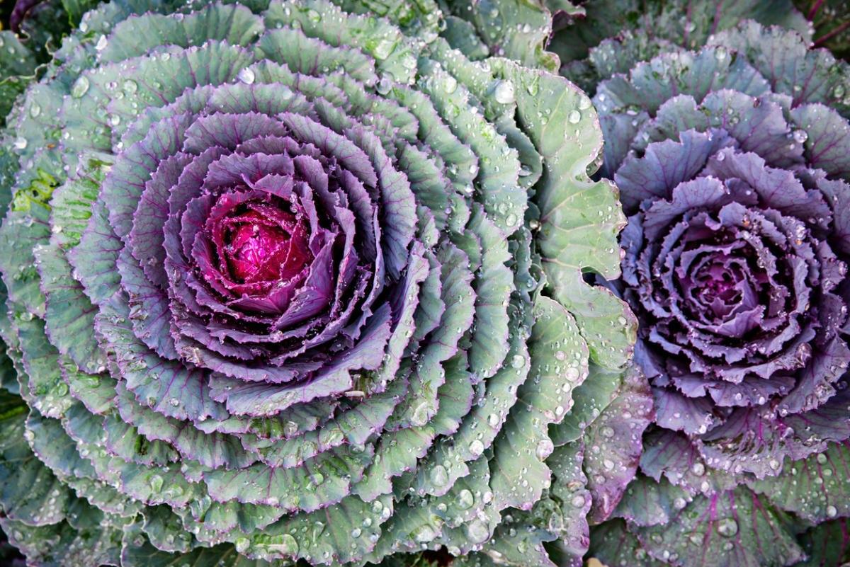 Декоративная капуста: кружева и рюши в цветнике до зимы