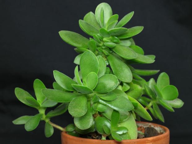Комнатное растение которое приносят в дом положительную энергию и удачу