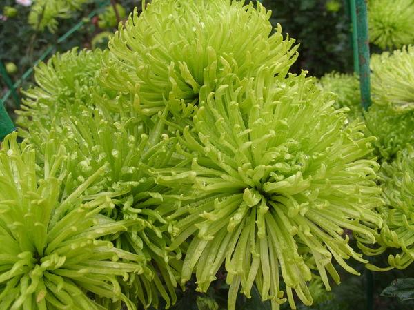 Зеленый сорт Shamrock
