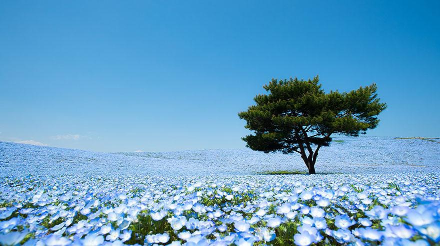 Потрясающие голубые поля в японском парке Хитати
