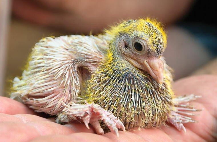 Почему мы никогда не видим птенцов голубей?