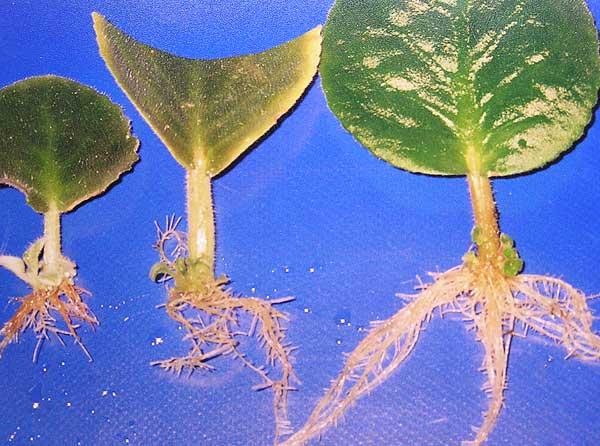 """Правила размножения листовыми черенками """" Уход за комнатными растениями"""
