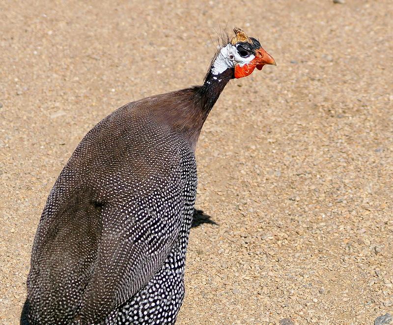 царская птичка