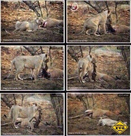 Необычная история о львице и беременной оленихе