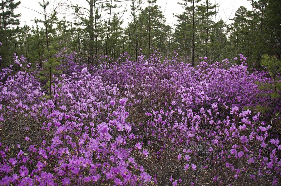 purple21 Цветение багульника   удивительное и чудесное зрелище