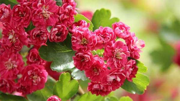 Боярышник, который цветет, к…